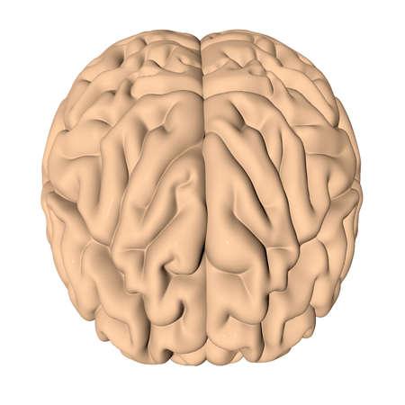 Human brain 3D render