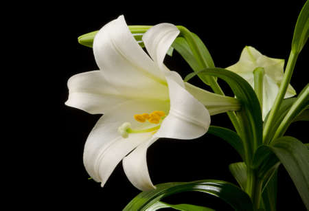 easter lily: Easter lily with a large blossom on a black background Stock Photo