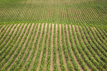Rows of new corn - graphic image photo