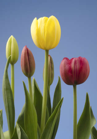 Tulips at different stages of blooming with a blue sky background Stock Photo