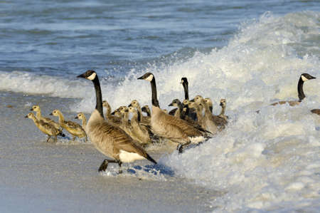 Waves scare the geese out of the water with the young goslings photo