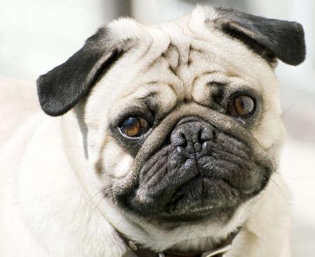 Close-up van het gezicht van een Pug's