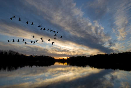 Geese landing on the bay at sunset. photo