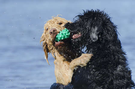 Two labradoodles playing in the lake with the blonde dog retrieving the ball and the black dog bugging her sister