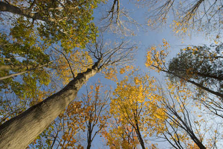 Wide angle photo looking up into the almost bare autumn treetops