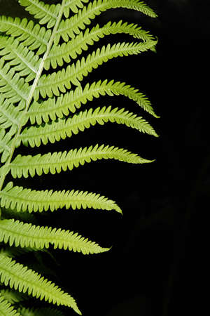 Vertical abstract image of a Boston fern. photo