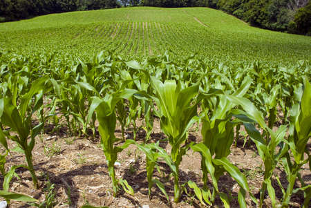 Young corn plants in the foreground of the large corn field.
