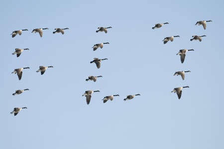 Composite of Canadian Geese spelling the word