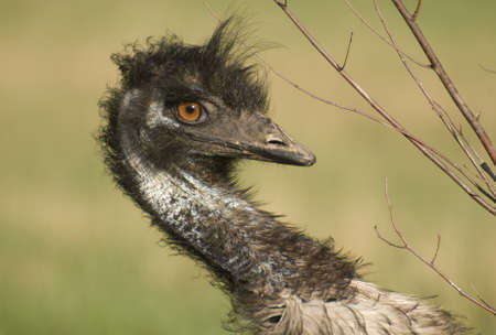 Closeup of a Emu dodging the branches of a small tree