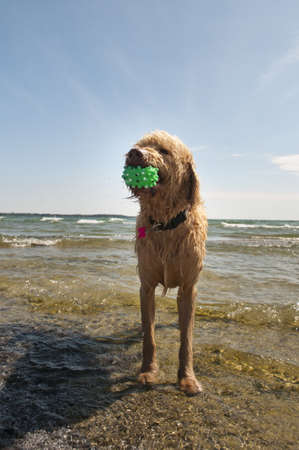 Labradoodle looks to play ball at the beach