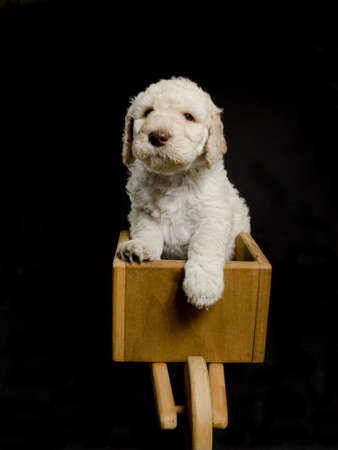 Labradoodle puppy in a toy wheel barrow on black background Stock Photo