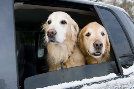 Golden Retrievers going for a car ride photo