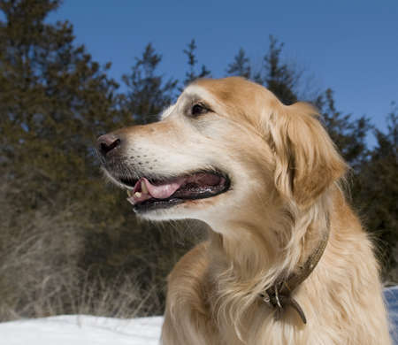 pure bred: Happy Golden Retriever in the park on a sunny day