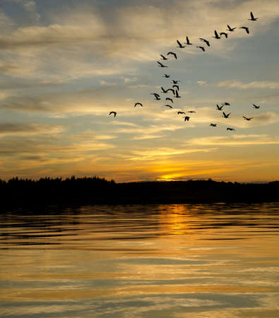 Geese looking to land on the lake at sunset
