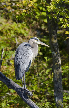 Great Blue Heron standing on a dead tree branch with forest in the background photo