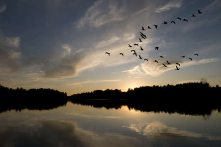 Canadian geese in formation flys over the northern lake