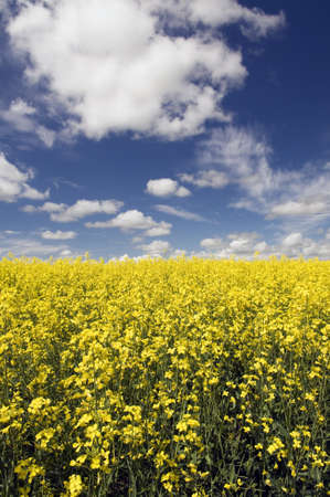Field of Canola with instense blue sky with clouds