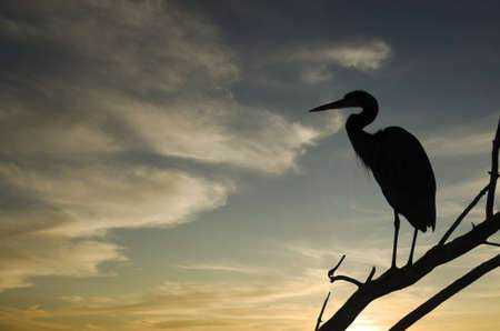 Silhouette of a heron standing on a branch calling out with bright sunset in the background photo