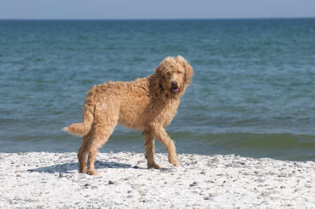 Labradoodle looks back while standing on the shoreline at Lake Ontario