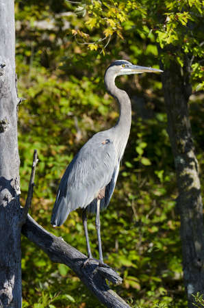 A proud heron standing on a dead branch in the conservation area in Ontario photo