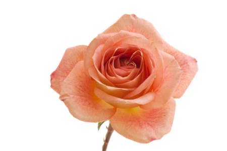 Macro image of a perfect peach colored rose on a white background