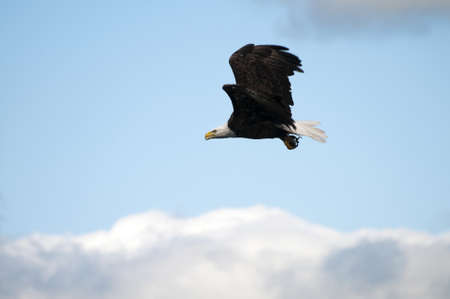 talons: Bald eagle with fish in its talons flying home to the nest with copy space in the blue sky with clouds below the bird