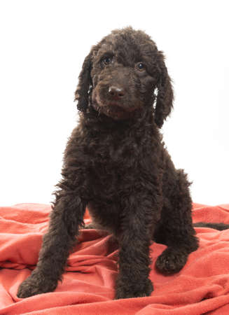 Alert brown labradoodle looking right into the camera sitting on a white background