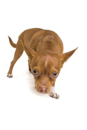 timid: Timid Chihuahua looking this way.