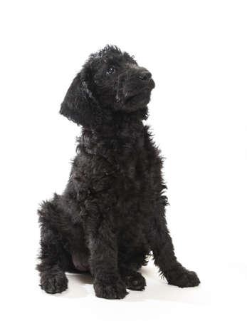 Portret beeld van een zwarte labradoodle op een witte achtergrond