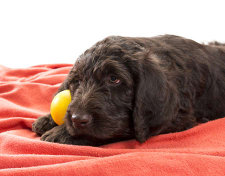 Closeup of brown labradoodle with selective focus on his face holding his favorite ball between his paws with white background in the top area of the image Stock Photo