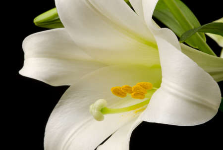 Macro Easter Lily blossom with yellow pollen on the petals Stock Photo