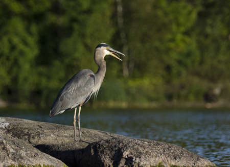 Heron gagging down a fish standing on the rock at Charleston Lake Stock Photo