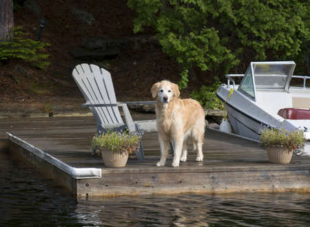 Golden Retriever on the Dock looking out to the visitors. photo