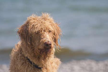 Bad hair day op het strand voor deze labradoodle hond, selectieve focus op de golven en het water op de achtergrond met een kopie ruimte gebied Stockfoto