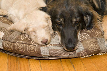 poodle mix: Adult dog resting on a pillow next to a pup