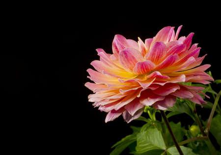 Selective focus on a single Dahlia blossom