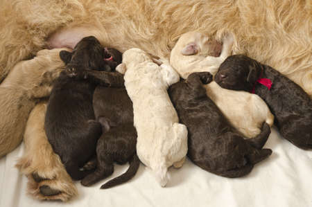 suckle: Labradoodle pups with their mom, some feeding and some sleeping Stock Photo