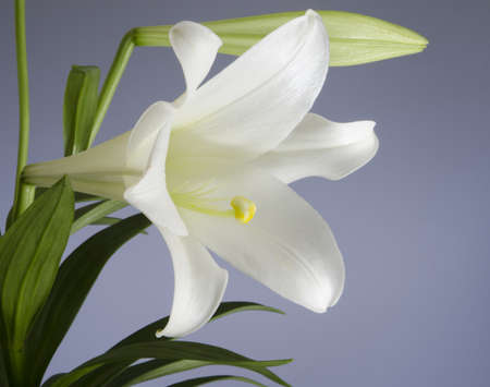 Easter Lily bloom on a blue background photo