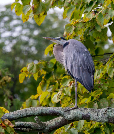 Old heron resting on a large branch looking over the lake photo