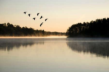 Geese landing on the lake at sunrise