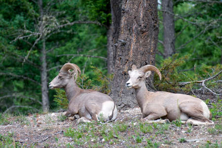 rocky mountain bighorn sheep: Two Bighorn Sheep in the Banff National Park
