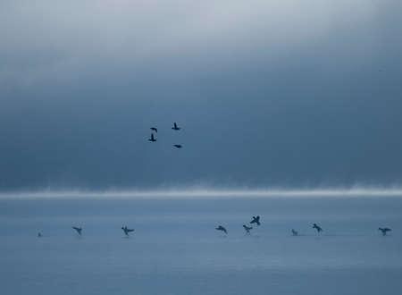 Ducks landing at dusk on a fog covered lake Stock Photo