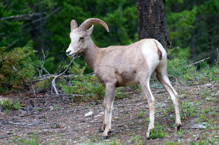 Bighorn sheep walking in the Radium Hot Spring area Stock Photo - 23318703