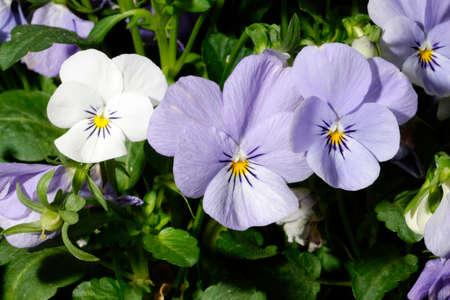 Macro shot of white and purple pansies.