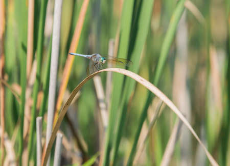 wetland conservation: Dragonfly resting on a leave in the wetland conservation area Stock Photo
