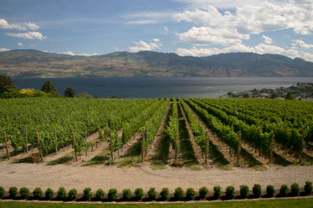 Vineyard in central British Columbia
