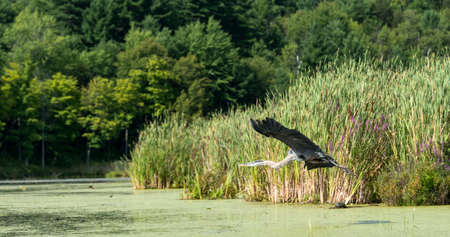 bullrush: Heron flying in a swamp area with forest in background and bullrushes in the foreground