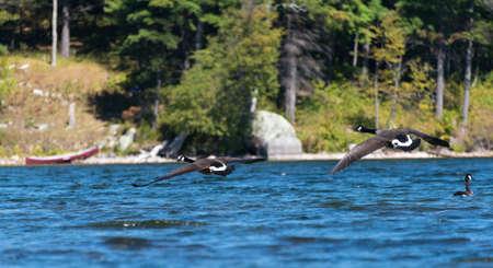 Selectieve aandacht op twee ganzen op zoek om te landen op het meer met kano en eiland oever