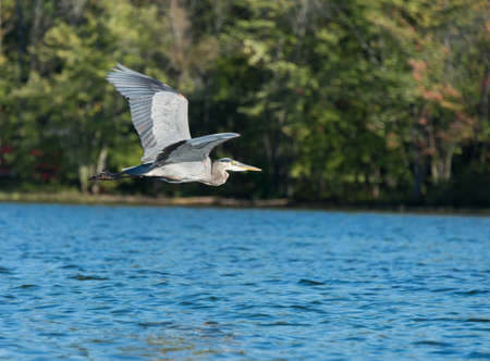 Blue heron flys above the northern lake with the forest in the background