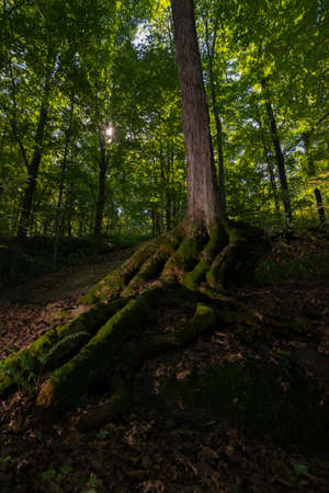 Sun burst light on a large tree in the forest with exposed moss covered root system